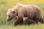 Brown or Grizzly Bear sow with spring cub, Lake Clark National Park, Alaska.