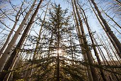 Shell True North Forest near Rycroft, Alberta