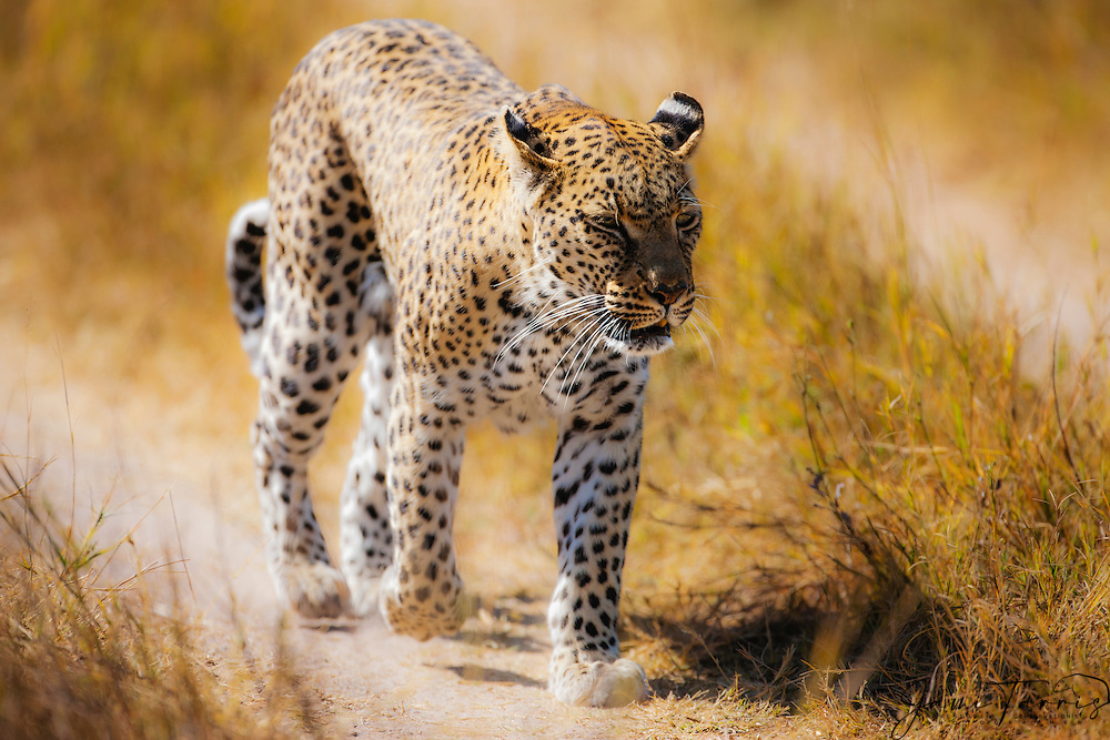 A female leopard (Panthera pardus) walking down a track road toward the camera, Moremi Game Reserve,Botswana,Africa