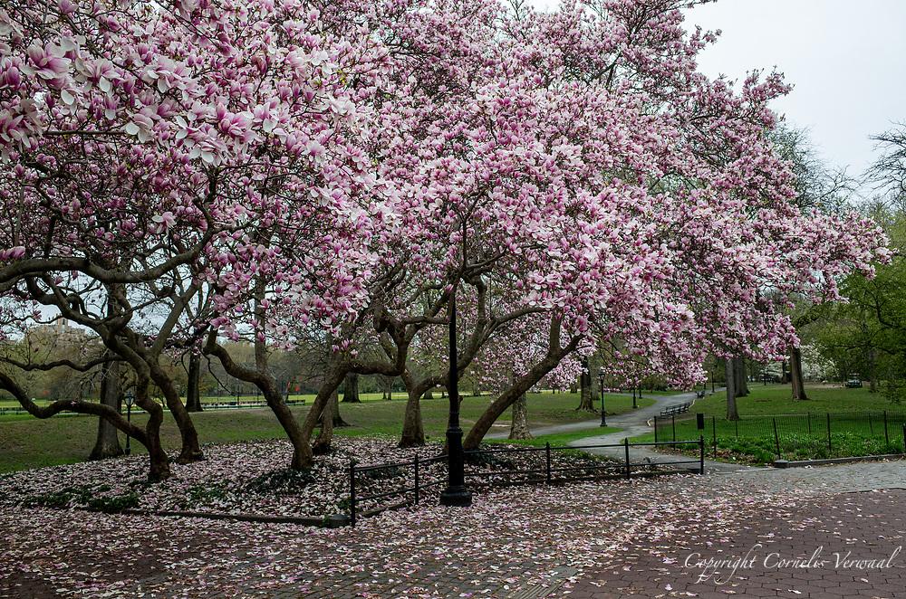 Magnolia blossoms at Cleopatra's Needle (The Obelisk)