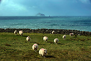 The world heritage site of the Skellig Rocks make a perfect backdrop for these grazing sheep on the Skellig Ring in County Kerry, Ireland. The Skellig Rocks were the setting for three Star Wars movies.<br /> Picture by Don MacMonagle -macmonagle.com