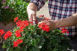 Deadheading a container of pelargoniums on the patio.