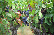Red grapes ready to harvest on an old vine in the vineyard, Domaine Pech-Redon, Coteaux du Languedoc la Clape, Narbonne, Herault, Languedoc-Roussillon, France