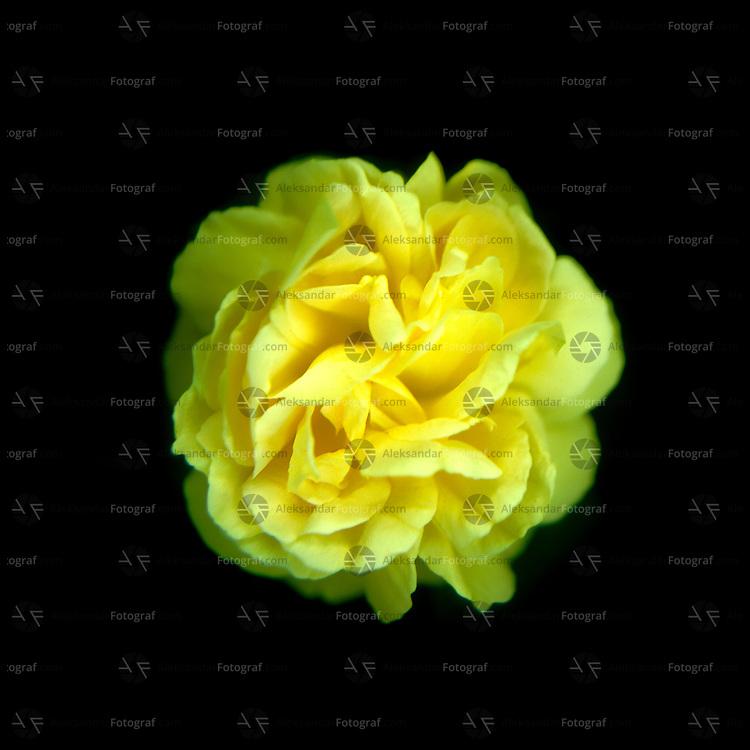 Golden rose Bernstein rose flower and flower buds on black background