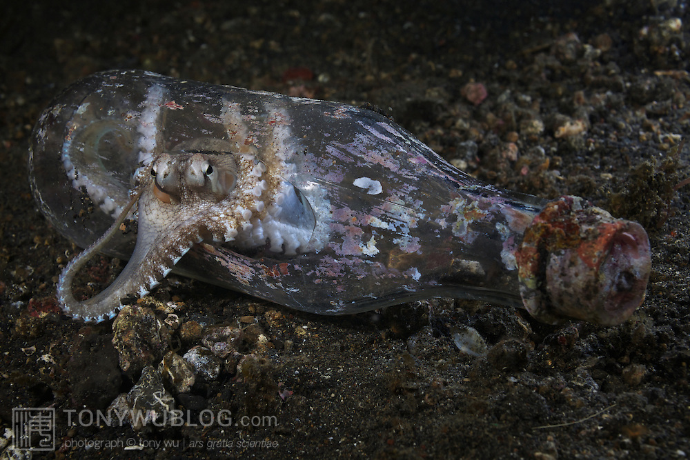 Small octopus peering out of a discarded glass bottle in the muck of Lembeh Strait in North Sulawesi, Indonesia