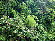 Forest along the banks of the Nam Ou river, Phongsaly, Lao PDR