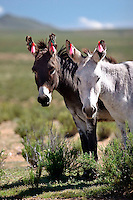 BURROS (Equus asinus) ENFLORADOS EN LA PUNA, PROV. DE JUJUY, ARGENTINA..Asini con le orecchie adornate nella puna, Provincia di Jujuy, Argentina
