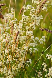 Glad walstro, Galium mollugo