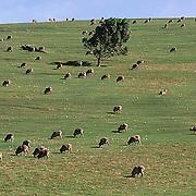 Australia, Sheep grazing on Kangaroo Island.