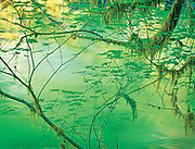 Early Spring Vine Maple Design, Sol Duc River, Olympic Nat. Park
