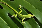 Green Gecko on a leaf in Hawaii
