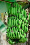Mar. 14, 2009 -- LUANG PRABANG, LAOS: Green bananas on a tree in northern Laos.  Photo by Jack Kurtz / ZUMA Press