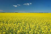 Canola crop along the Saskatoon Trail<br /> near North Battleford<br /> Saskatchewan<br /> Canada