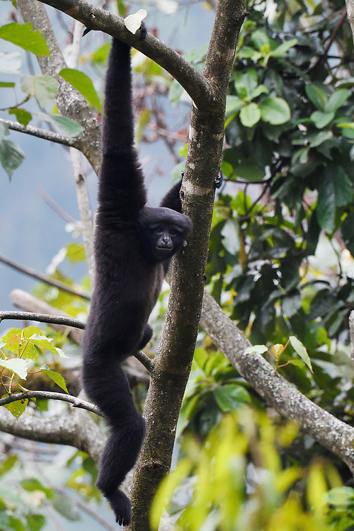 Skywalker gibbon monkey, Hoolock tianxing, in a tree at Tongbiguan nature reserve, Dehong prefecture, Yunnan province, China