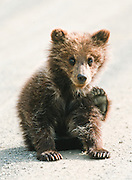 Grizzly Bear Cub sitting in road along Highway Pass, Denali National Park.