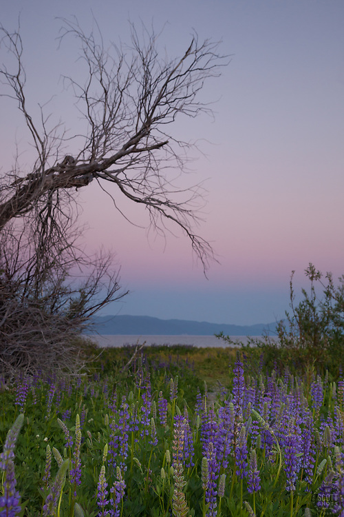 """""""Lupine Sunset 5"""" -This sunset and lupine flowers were photographed at Lake Forest Beach Park at Lake Tahoe, just outside of Tahoe City, CA."""