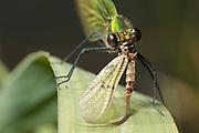 Demoiselle (Calopteryx sp.) eating freshly emerged mayfly (Ephemera sp.). River Wey, Surrey, UK.