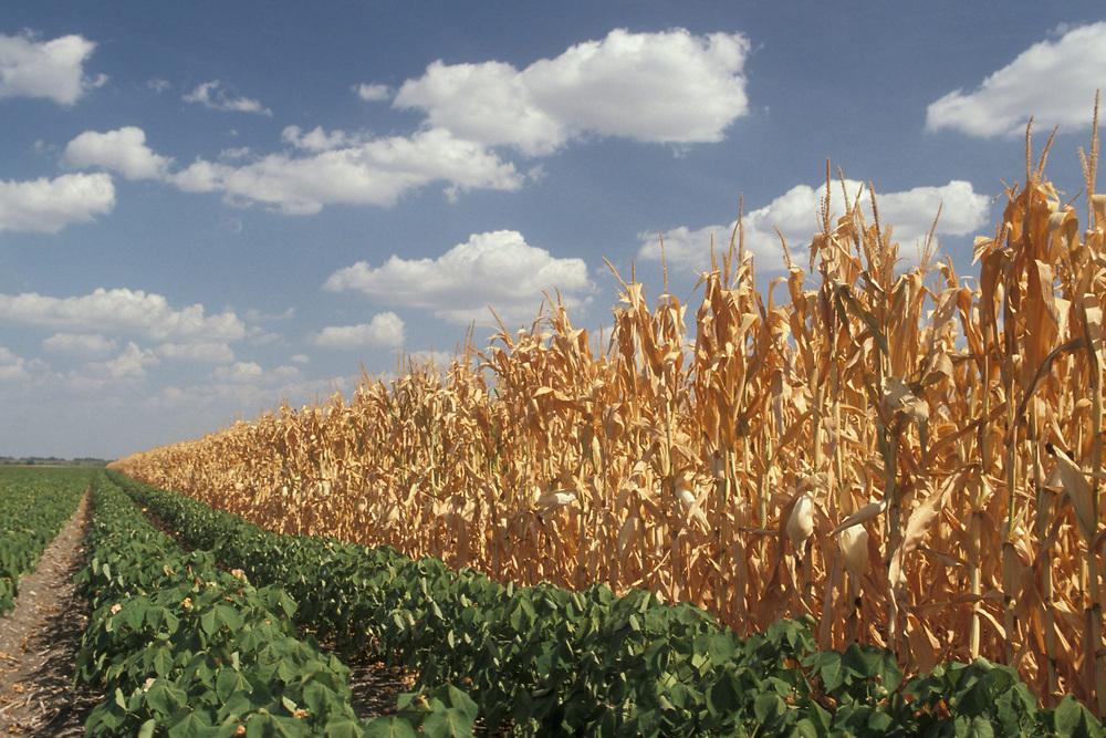 Corn fields outside of Alice, Texas suffer from no rain in months.<br /> ©Bob Daemmrich