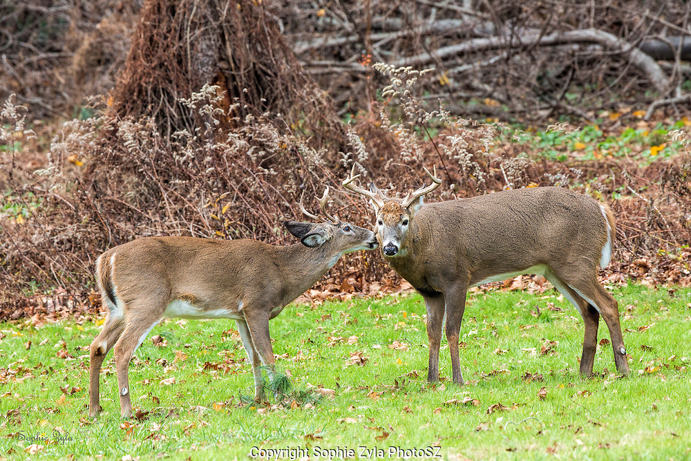 White-tailed Deer bucks grooming and bonding
