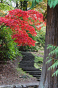 Japanese maple tree leaves glow red in autumn over path steps at UW Arboretum. Washington Park Arboretum is a joint project of the University of Washington, the Seattle Department of Parks and Recreation, and the nonprofit Arboretum Foundation, in the State of Washington, USA. Photographed October 22.