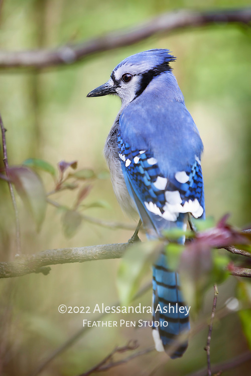 Blue jay (Cyanocitta cristata) on crabapple branch amid spring foliage, with wing and tail feathers visible.