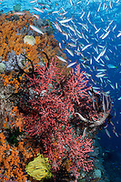 Fusiliers school chaotically over a Soft Coral encrusted wall<br /> <br /> Shot in Raja Ampat Marine Protected Area West Papua Province, Indonesia