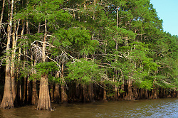 Stock photo of Cypress trees lining the river