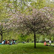 A cherry blossom tree at St James park on 23 April 2019, London, UK.