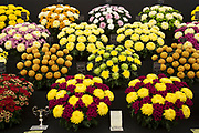 Harrogate Flower Show, North Yorkshire, England, UK. The Plant Pavilion is full of every variety of flowering plant you can think of, with blooms of all shapes, sizes and colours. Chrysanthemums