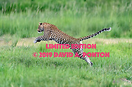 Leopard leaps across stream in wetlands along the Chobe River, Chobe National Park, Botswana, © David A. Ponton [LIMITED EDITION PRINTS WILL BE AVAILABLE, other uses are restricted, please contact me for more info.]