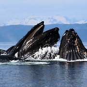 Group of humpback whales (Megaptera novaeangliae) emerging from the water while engaged in cooperative bubble-net feeding. The whale with its mouth open in the middle of the photograph is the leader/ coordinator, always appearing in the middle of the group. Photographed in Chatham Strait, near Juneau, Alaska.