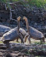 Tortoises at Darwin Research Station