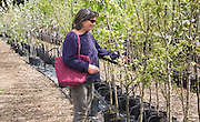 Woman shopping for fruit trees at Swanns nursery garden centre, Bromeswell, Suffolk, England