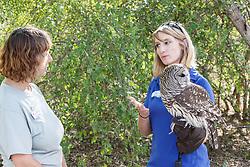 Examining barred owl, Mitchell Lake Audubon Center, San Antonio, Texas, USA.