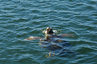 The adult loggerhead sea turtles (Caretta caretta) are often accompanied by remora (Remora remora) , also called suckerfish, which feed from leftovers when the sea turtle crunches crabs .