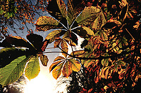 Trees are lit up in the beautiful autumn sunshine in Pollok Park, Glasgow.