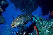 tiger grouper,<br /> Mycteroperca tigris , <br /> Long Island, Bahamas ( Western Atlantic Ocean )