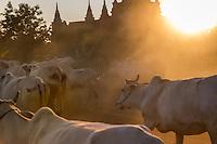 BAGAN, MYANMAR - CIRCA DECEMBER 2013: Cattle in the afternoon near Bagan in Myanmar