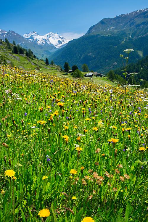 Alpine wildflower meadow in the Swiss Alps below the Matterhorn near Zermatt, Switzerland
