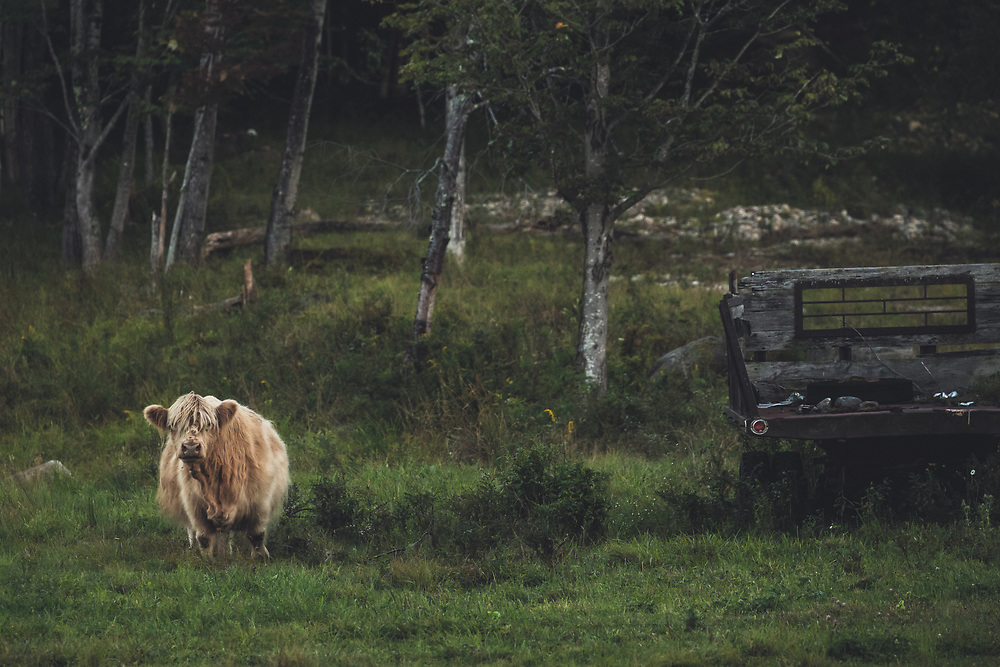 A Highland calf roaming it's landscape in the hills of Alexandria, NH.
