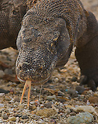 A Komodo Dragon's tongue flickers and septic saliva drips from its mouth as it prowls the beach in remote Komodo National Park in Indonesia. The park draws adventurous travelers hoping to see the carnivorous Komodo dragon (Varanus komodoensis), the world's largest monitor lizard, in the wild. Several human fatailities have resulted from komodo dragon attacks in recent years.