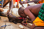 Samburu warriors slaughtering a goat and drinking the goat blood,,Samburu, Kenya, Africa