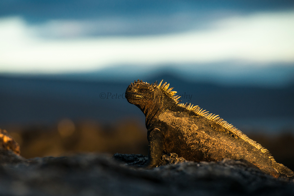 Marine Iguana (Amblyrhynchus cristatus) <br /> Urvina Bay, Isabela Island<br /> Galapagos<br /> Ecuador, South America<br /> ENDEMIC TO THE ISLANDS