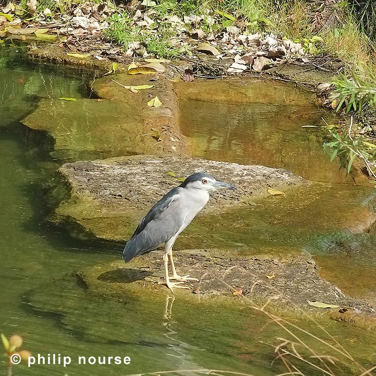 Heron, Central Park, Discovery Bay, Lantau Island