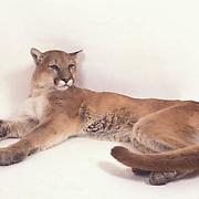 Mountain Lion or Cougar, (Felis concolor) On white background. Captive Animal.