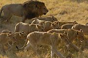 African Lion (Panthera leo) pride walking through grass, vulnerable, Africa