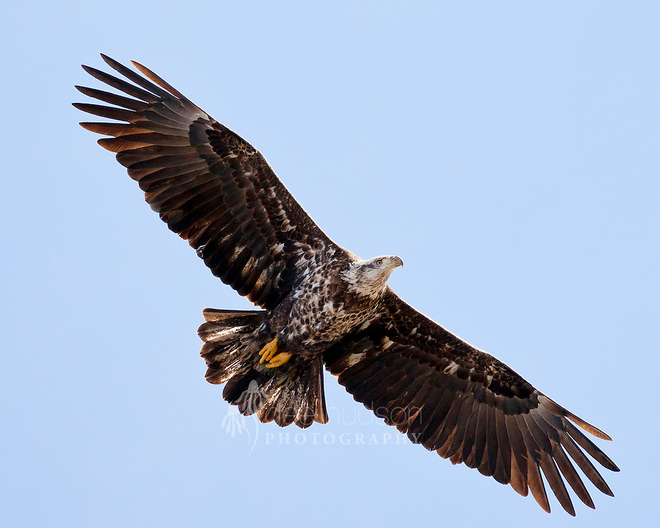 I photographed this majestic eagle soaring over the Mississippi River. Due to the coloration under the wings and on the face and beak, I believe this is a 3rd–year eagle.