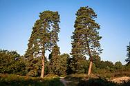 pine trees in the Wahner Heath on Fliegenberg hill, Troisdorf, North Rhine-Westphalia, Germany.<br /> <br /> Kiefern in der Wahner Heide am Fliegenberg, Troisdorf, Nordrhein-Westfalen, Deutschland.