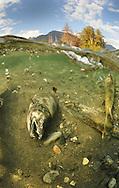 Dead Chum Salmon Carcass on River Bottom<br /> <br /> Paul Vecsei/Engbretson Underwater Photography