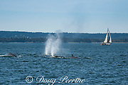 fin whales or finback whales, Balaenoptera physalus, in cooperative feeding group, blowing or spouting off Grand Manan Island, with sailboat in background, Bay of Fundy, New Brunswick, Canada ( North Atlantic Ocean )